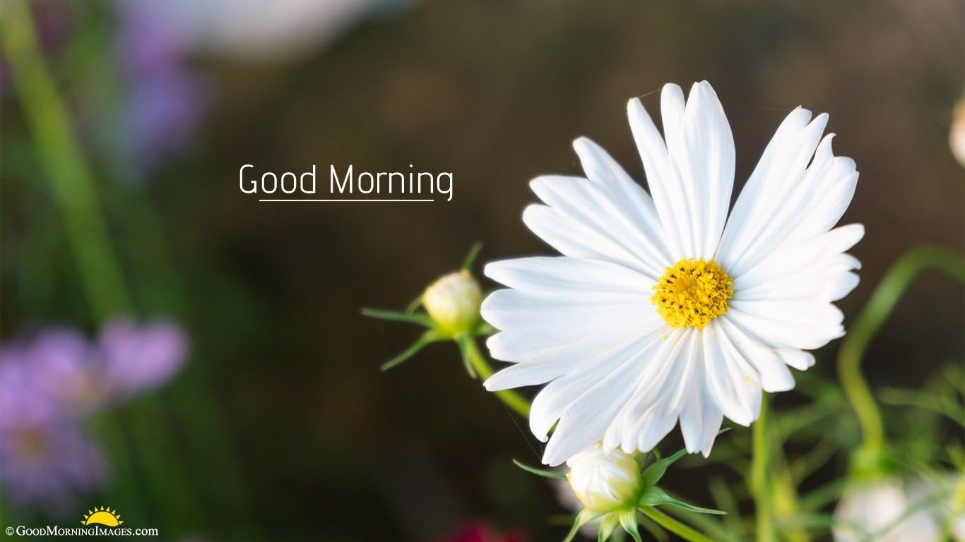 Morning Daisy White Full HD Flower Background Picture For Desktop and Laptop